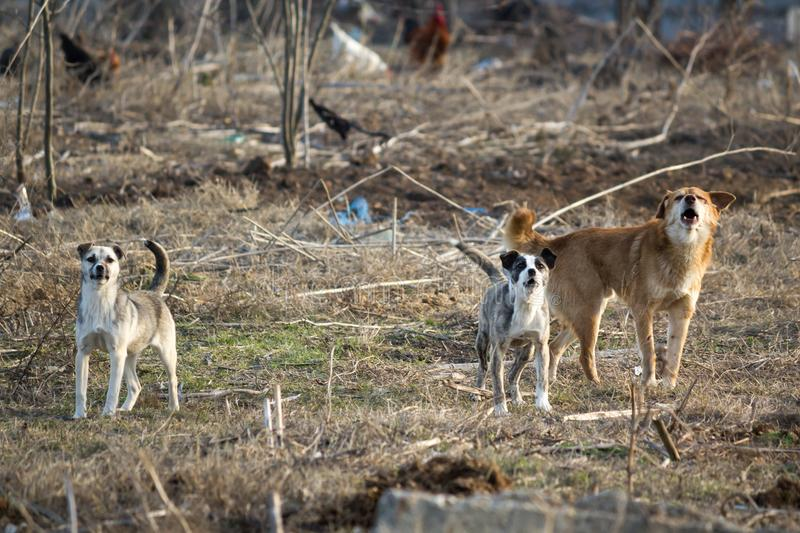 Stray dogs ready to attack royalty free stock images