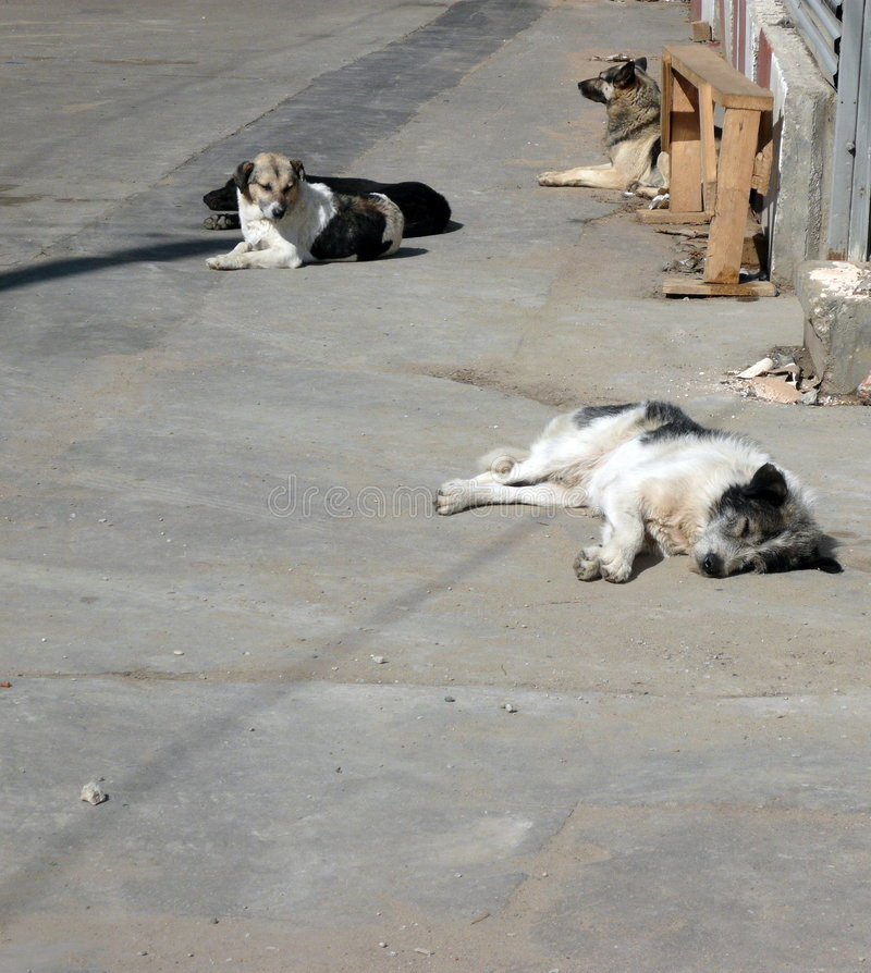Stray dogs on street stock image