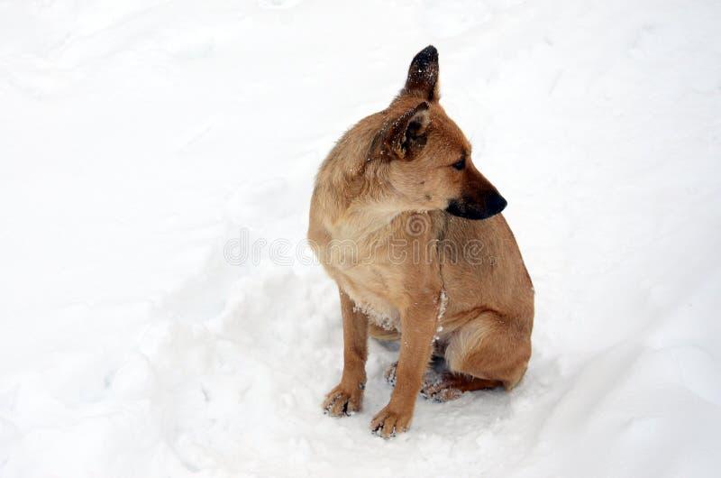 A stray homeless dog. Portrait of a sad orange dog on a snowy background royalty free stock photos