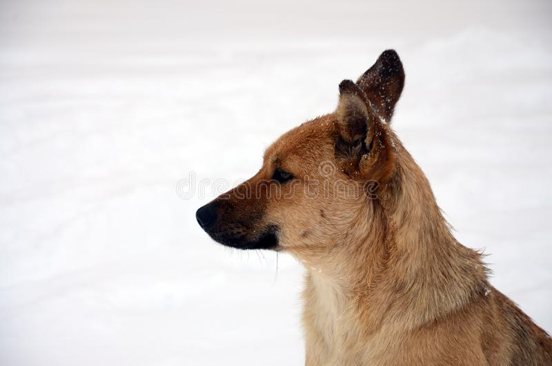 A stray homeless dog. Portrait of a sad orange dog on a snowy background stock images
