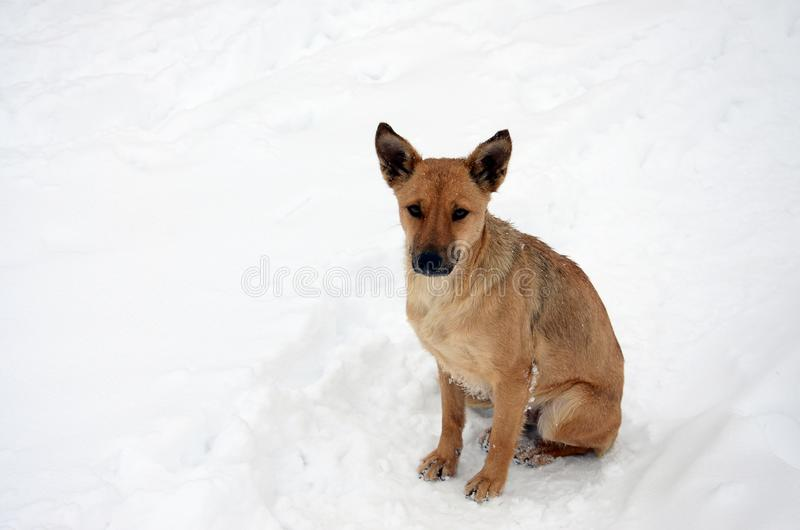 A stray homeless dog. Portrait of a sad orange dog on a snowy background stock photography