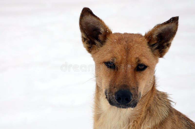 A stray homeless dog. Portrait of a sad orange dog on a snowy background.  royalty free stock image