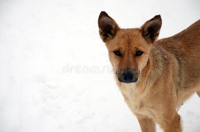 A stray homeless dog. Portrait of a sad orange dog on a snowy background royalty free stock photography