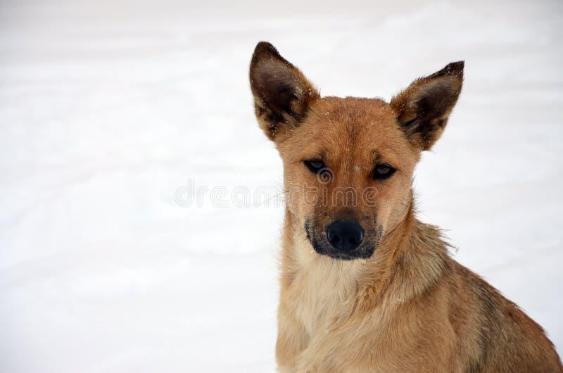 A stray homeless dog. Portrait of a sad orange dog on a snowy background stock image