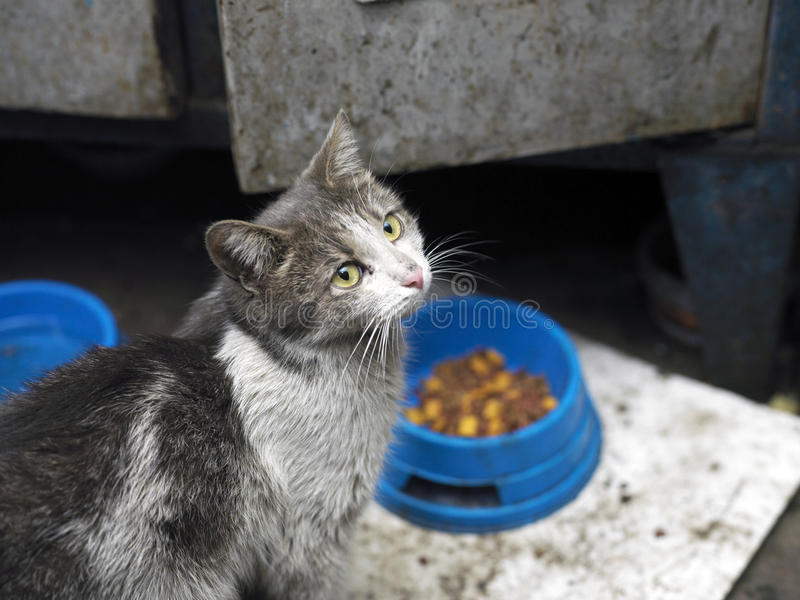 Stray Hungry Cat. Stray cat with a dirty hair sitting near a food bowl on the floor stock photo