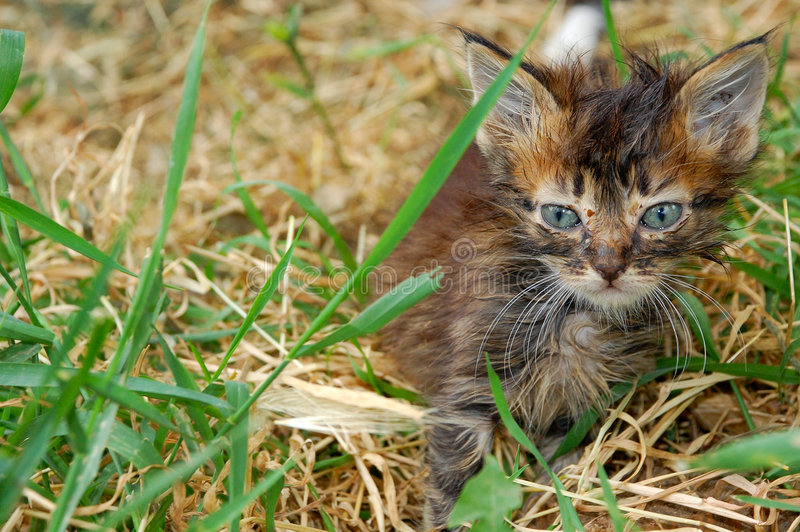 Download Stray kitten stock image. Image of kitty, poor, dirty - 5388537