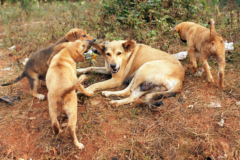 Stray Mother Dog And Pups Stock Photography
