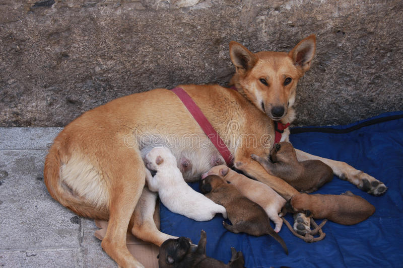 Stray with Puppies royalty free stock photos