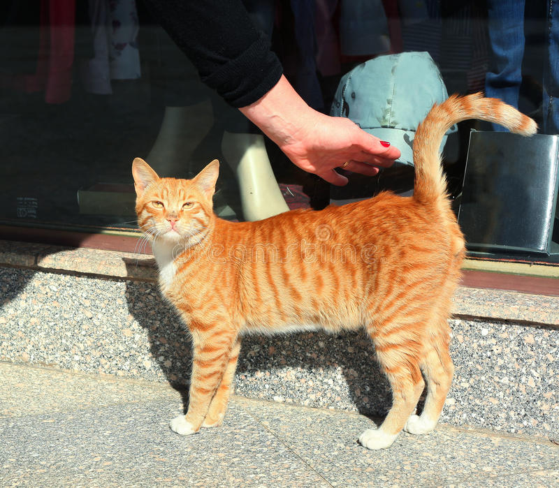 Stray red hair cat on the egyptian market street stock image