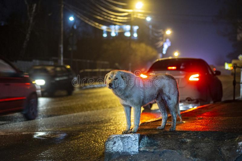A stray street dog on a city night street. Homeless dogs and pets stock photo