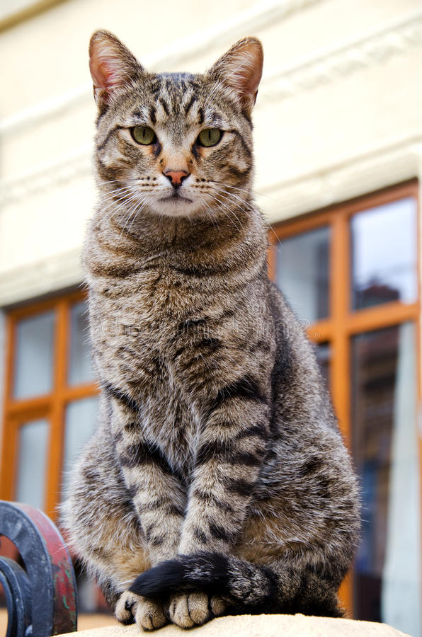 Stray tabby cat. A serious looking stray cat on a rooftop royalty free stock photos