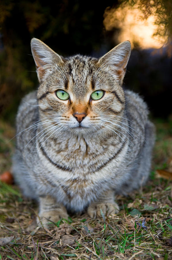 Stray tabby cat. A serious looking stray cat in the park royalty free stock images