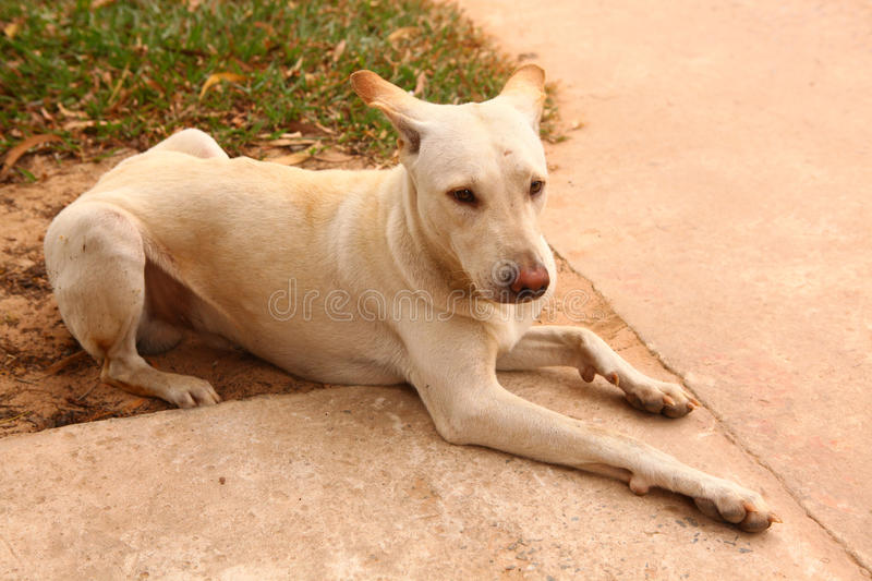 Stray white asian male dog with red nose stock images