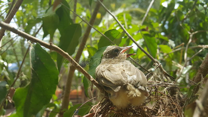 The streak-eared bulbul (Pycnonotus blanfordi) royalty free stock images