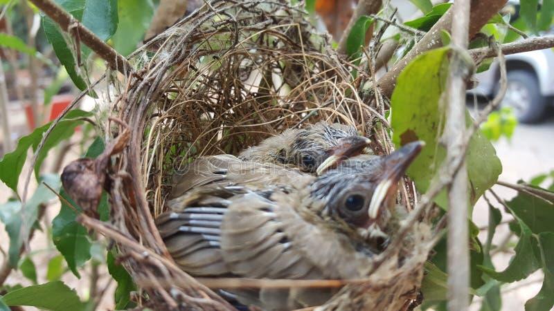The streak-eared bulbul (Pycnonotus blanfordi) royalty free stock photography
