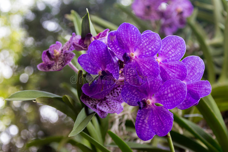 Streaked orchid flowers stock photo