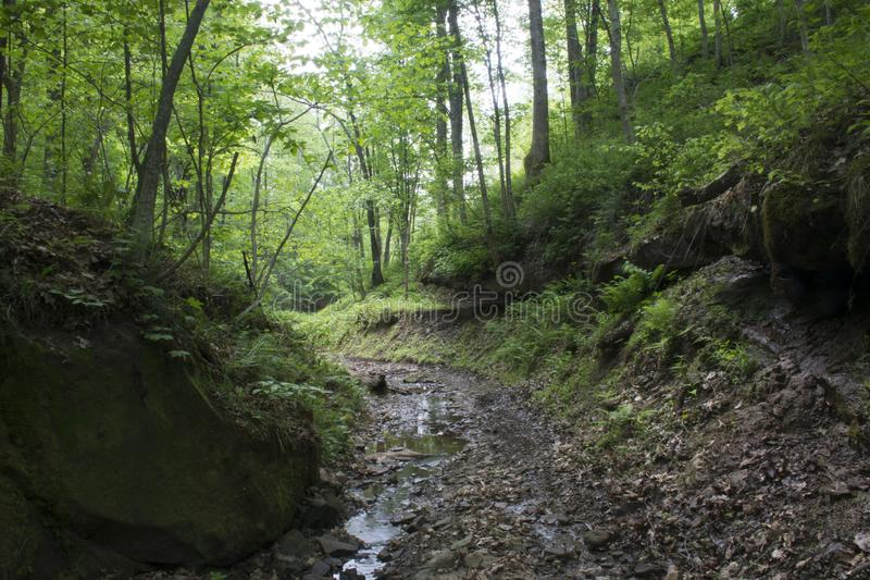 Stream in dense forest. A stream winding through a dense forest in a deep hollow.. ferns grow in the low light levels, bright sunshine rarely sees this part of stock images
