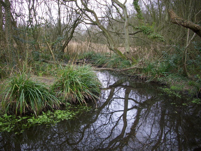 Stream in woodland. Stream running through winter woodland and willow carr with open water, sedges and aquatic vegetation royalty free stock images