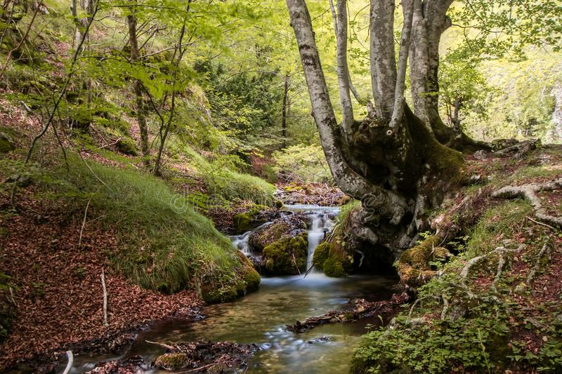 Stream with small waterfall in a Mediterranean forest with moss, fallen leaves and a large beech tree royalty free stock image