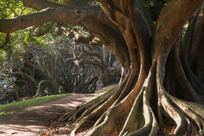 Strebepfeilerwurzeln des Moreton-Buchtfeigenbaums lizenzfreie stockfotografie