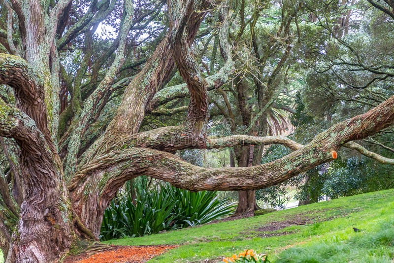 Strebepfeilerwurzeln des Moreton-Buchtfeigenbaums lizenzfreies stockfoto