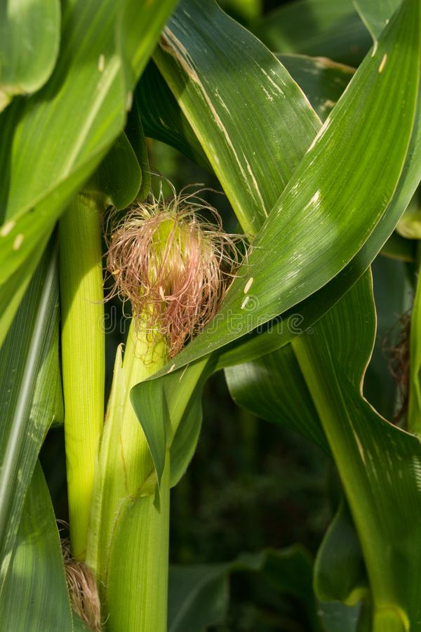streching对太阳的年轻傲慢的玉米棒子 库存图片