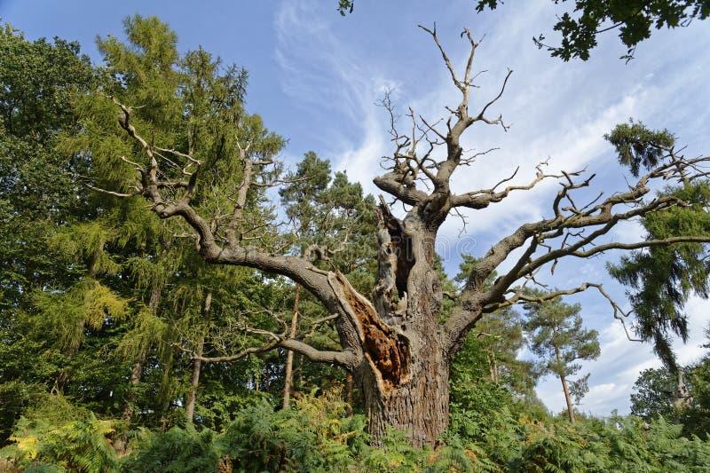 Strectched za weteran?w drzewach perspektywiczny hatfield park England Europe obrazy royalty free
