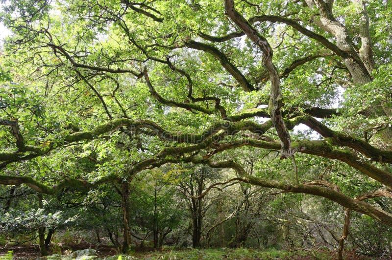 Strectching za wielkich weteranów drzewach perspektywiczny sharpenhoe England Europe zdjęcie royalty free