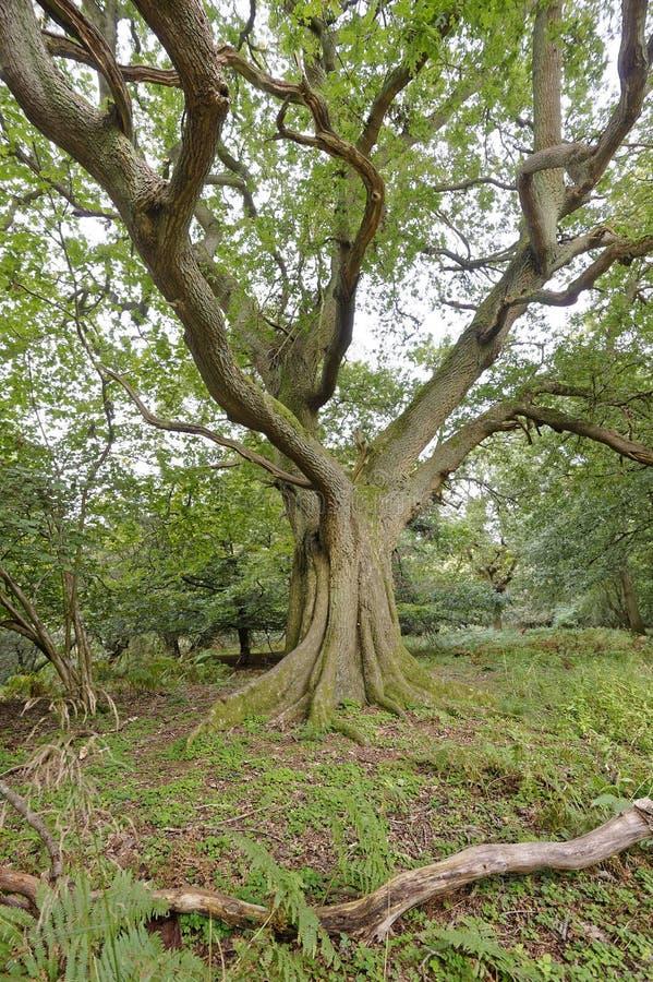 Strectching za wielkich weteran?w drzewach perspektywiczny sharpenhoe England Europe obraz stock
