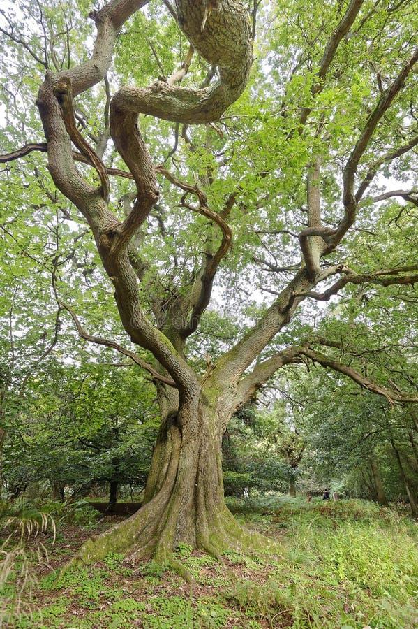 Strectching za wielkich weteran?w drzewach perspektywiczny sharpenhoe England Europe fotografia stock