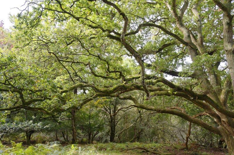 Strectching za wielkich weteran?w drzewach perspektywiczny sharpenhoe England Europe zdjęcie royalty free