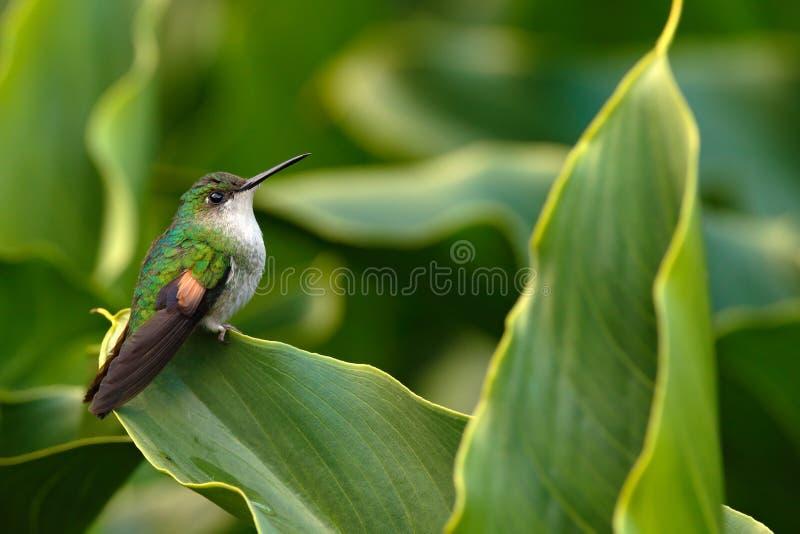 Streep-de steel verwijderde van Kolibriezitting op de groene bloem, Savegre, Costa Rica royalty-vrije stock foto's