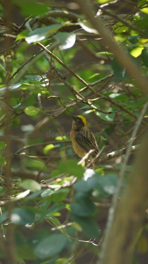 Streep-throated bulbul, of strook-throated bulbul, is species van zangvogel in de bulbulfamilie van passerinevogels royalty-vrije stock afbeelding