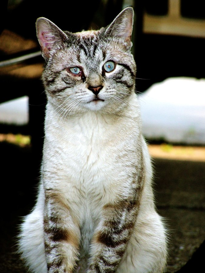 Download Street cat stock photo. Image of blue, infection, kitty - 1013092