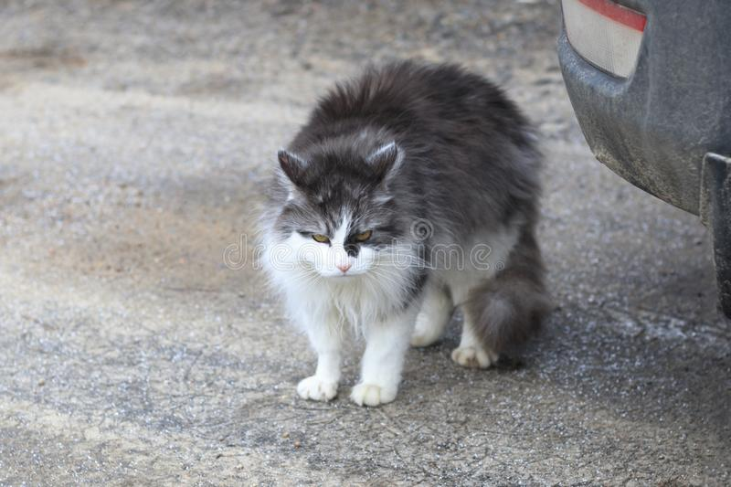 . street cat. color white with gray. hungry. no strength whatsoever to move. shelter royalty free stock photography