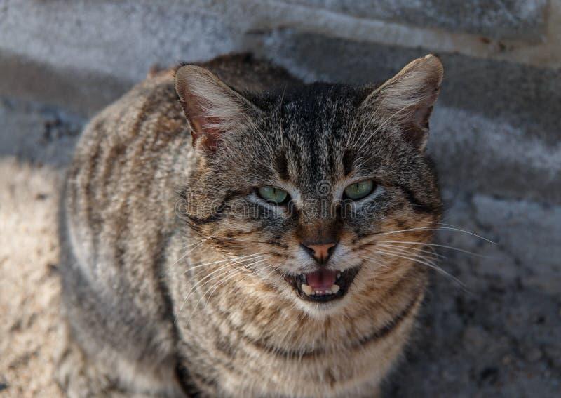 Street cat meows royalty free stock image