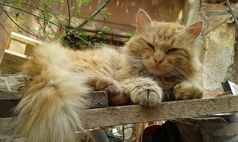 Street cat sleeping. Closeup of a long-haired street cat sleeping on planks of wood in an abandoned yard royalty free stock photo