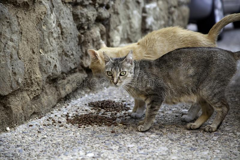 Street cats eating. Detail of abandoned animals, food, stray, homeless, kitten, hungry, pet, feral, cute, outdoor, mammal, young, wild, dirty, fur, alley royalty free stock photo