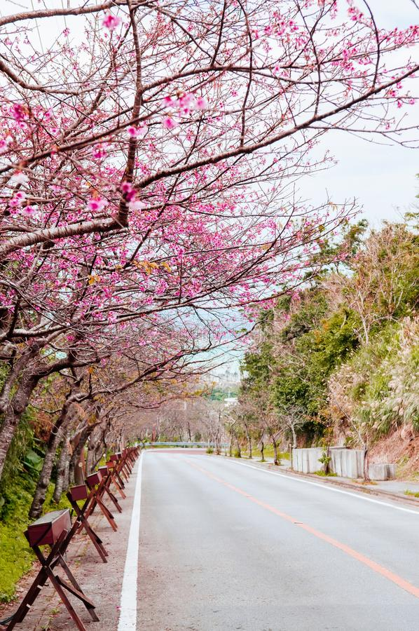 Street cover with full bloom Sakura or cherry blossom in Naha, O royalty free stock images
