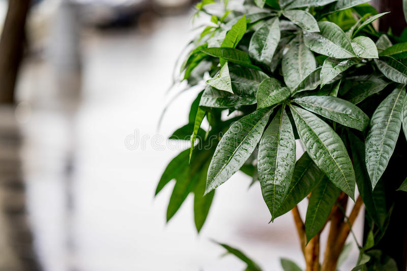 The street decorated with green bush. Photo with blurred background, soft focus. After rain.  stock images