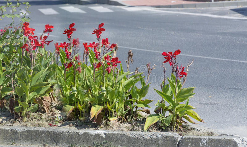 Street decorative red irises flowers in Sofia, Bulgaria. Street red irises flowers in Sofia, Bulgaria stock photo