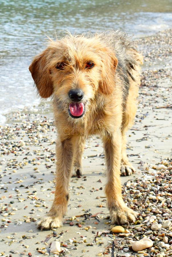 Street Dog in the beach. A raving street dog running across Europe`s beach royalty free stock photography