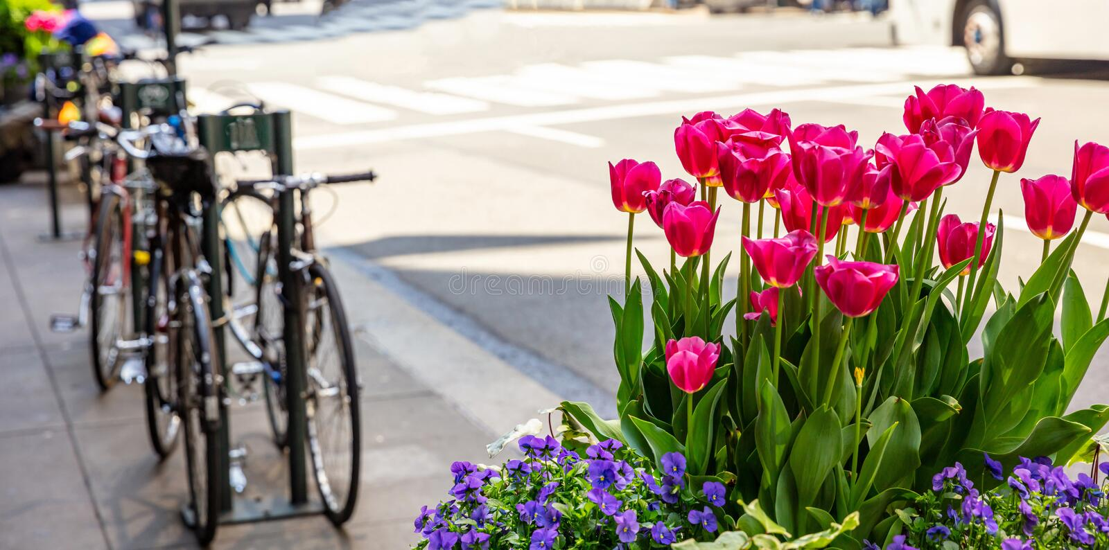 Red tulips on blur city street background. Sunny spring day in New York city. Street flower decoration. New York city. Red tulips and blue pansiws, blur city royalty free stock photo