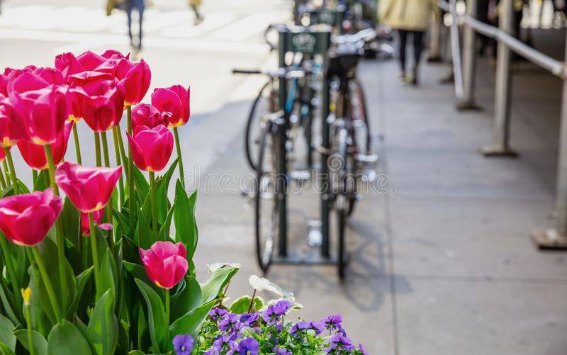 Red tulips on blur city street background. Sunny spring day in New York city. Street flower decoration. New York city. Red tulips, blur city street and parked royalty free stock photos