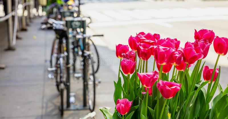 Red tulips on blur city street background. Sunny spring day in New York city. Street flower decoration. New York city. Red tulips, blur city street and parked royalty free stock photo