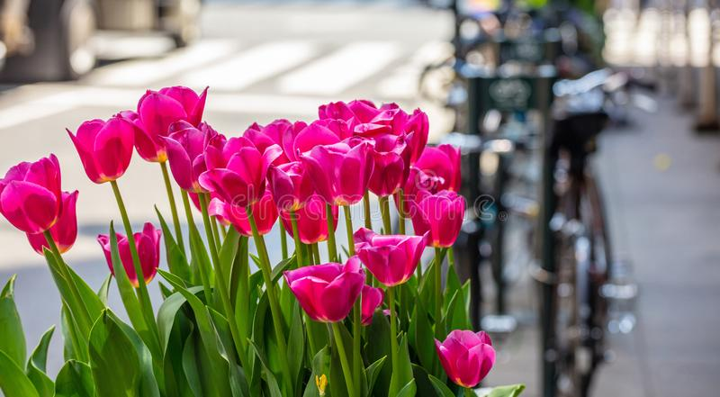 Red tulips on blur city street background. Sunny spring day in New York city. Street flower decoration. New York city. Red tulips, blur city street and parked stock image