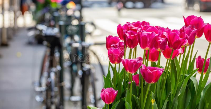 Red tulips on blur city street background. Sunny spring day in New York city. Street flower decoration. New York city. Red tulips, blur city street and parked stock photography