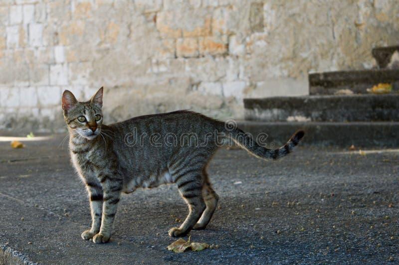 Street grey cat. Hungry grey tabby cat with stripes, on the street sidewalk stock photo