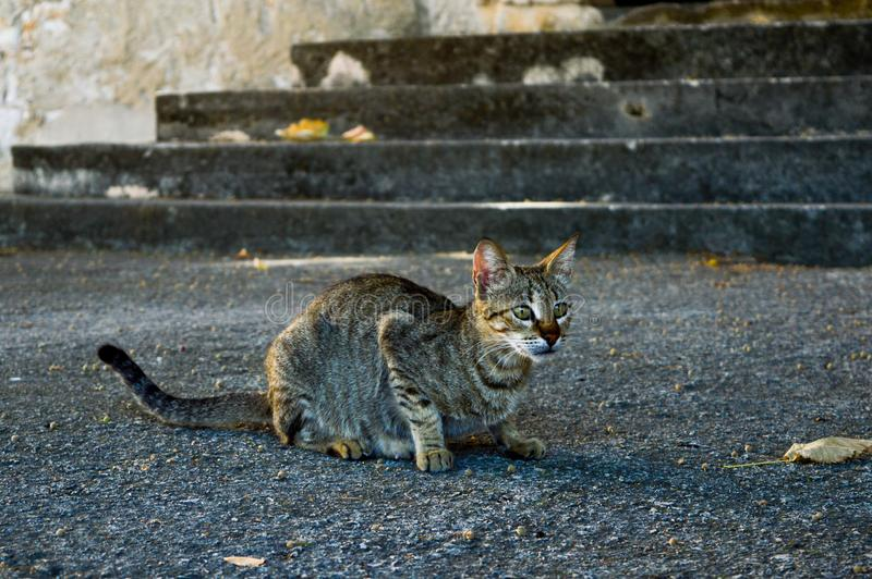 Street grey cat ready to hunt. Hungry grey tabby cat with stripes, on the street sidewalk, ready for hunting stock images