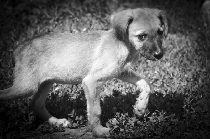 A skinny hungry puppy running down the street. Monochrome stock photo